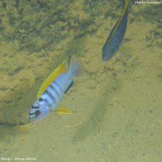 Labidochromis sp. 'hongi'