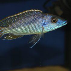 Mylochromis sp. 'lateristriga'