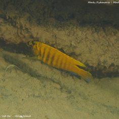 Tropheops sp. 'red fin'