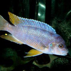 Pseudotropheus sp. 'aggressive'