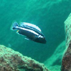 Melanochromis heterochromis