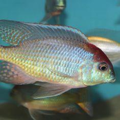 Lethrinops sp. 'red cap'