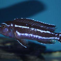 Pseudotropheus cyaneorhabdos