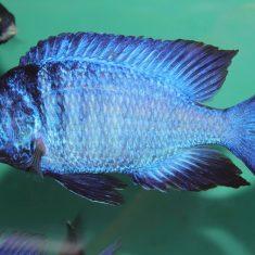Placidochromis phenochilus