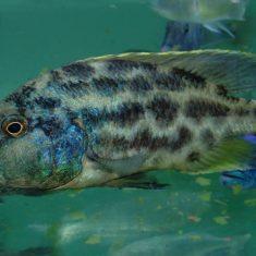 Nimbochromis polystigma