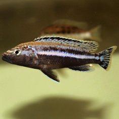 Melanochromis simulans