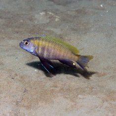 Pseudotropheus sp. 'dwarf'