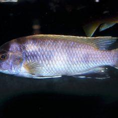 Pseudotropheus elegans