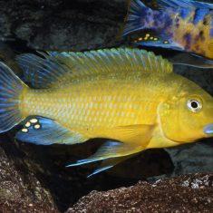 Pseudotropheus sp. 'williamsi'