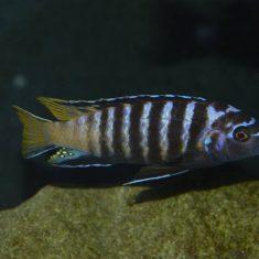 Chindongo sp. 'elongatus'