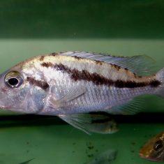 Mylochromis epichorialis