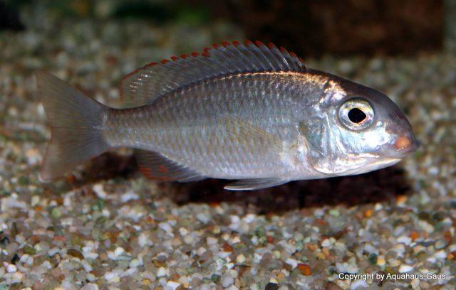 Lethrinops sp. 'mbasi' Tanzánie (samice)