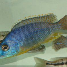 Protomelas ornatus