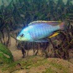 Protomelas similis