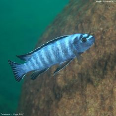 Labeotropheustrewavasae