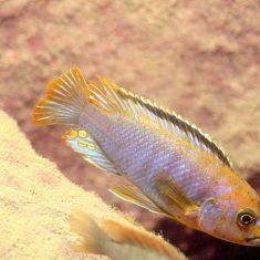 Iodotropheus sprangerae