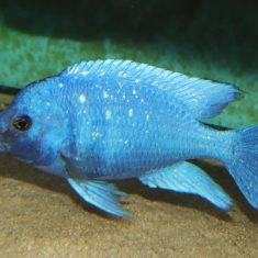 Placidochromis sp. 'phenochilus'