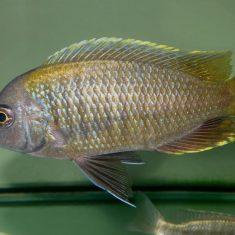 Copadichromis sp. 'flavimanus'