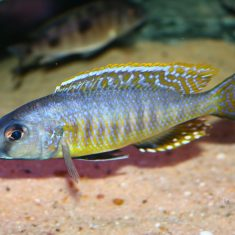 Stigmatochromis sp. 'pleurospilus'