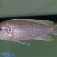 Labidochromis pallidus