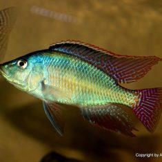 Placidochromis johnstoni