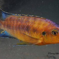 Petrotilapia sp. 'mumbo yellow'