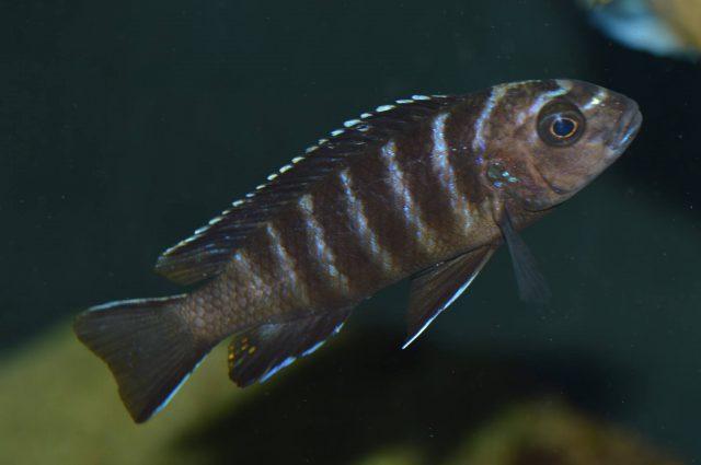 Chindongo sp. 'elongatus' Masimbwe Island (samice)