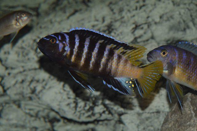 Chindongo sp. 'elongatus' Masimbwe Island (samec)