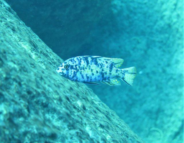 Labeotropheus fuelleborni