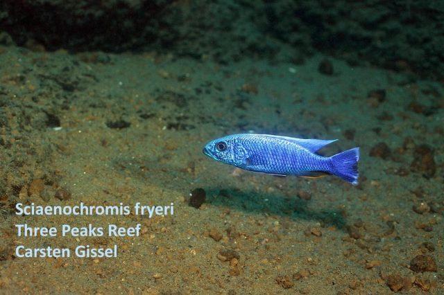 Sciaenochromis fryeri Three Peaks Reef (samec)