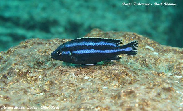 Melanochromis loriae (samec)