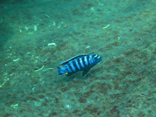 Chindongo saulosi Taiwane Reef (samec)