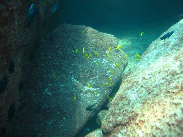 Chindongo saulosi Taiwane Reef (samice)