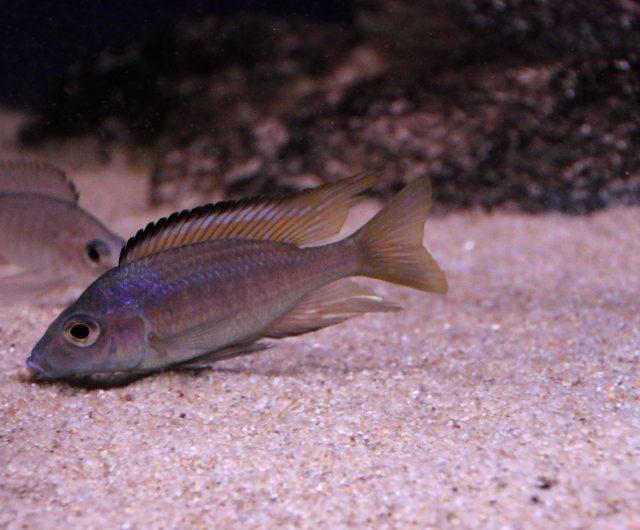 Aulonocara aquiloniumMdoka Reef(samec a samice)