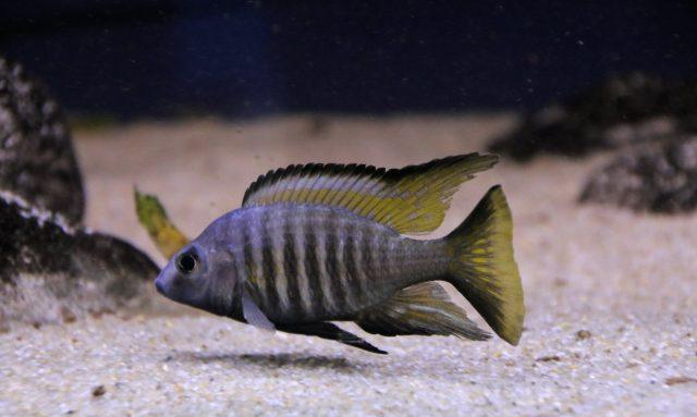 Aulonocara aquiloniumMdoka Reef(samec)