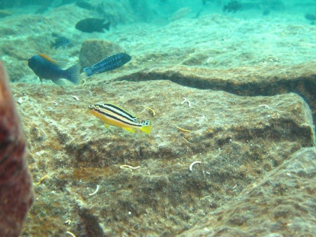 Melanochromis auratus (samice)