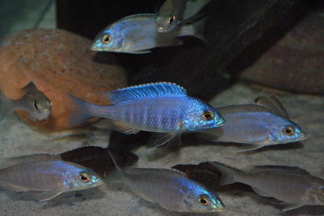 Placidochromis sp. 'electra blue (samec a samice)