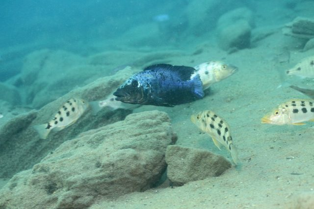 Fossorochromis rostratus (samec a samice)