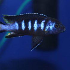 Metriaclima sp. 'elongatus'