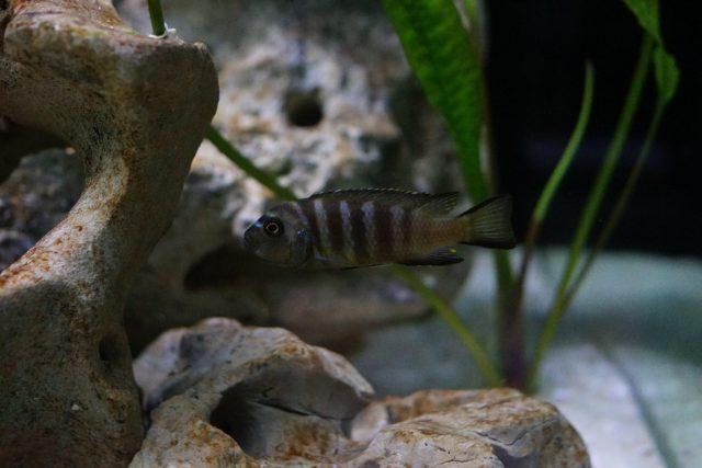 Metriaclima sp. 'elongatus bee' Chirwa Island (samice)