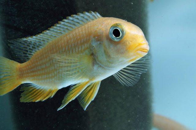 Gephyrochromis sp. 'sand' Undu Reef (samice)