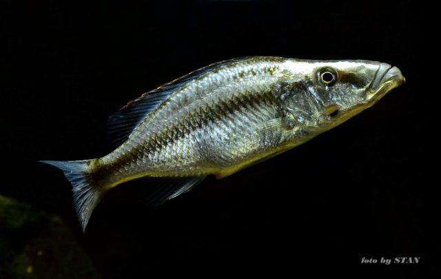 Dimidiochromis compressiceps (samice)