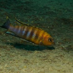 Tropheops sp. 'gracilior'