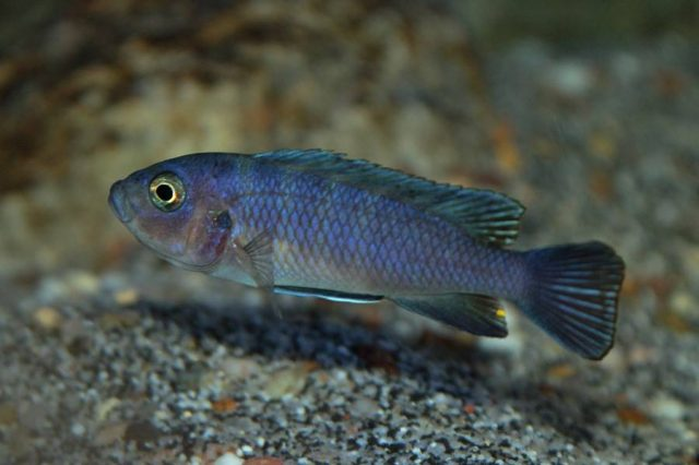 Cynotilapia sp. 'hara' Gallireya Reef (samice)