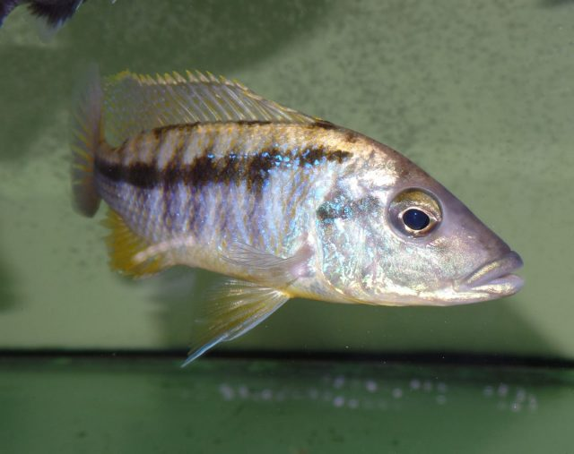 Mylochromis epichorialis (samec)