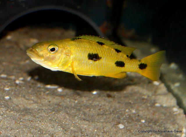 Exochochromis anagenys Maison Reef (samice)