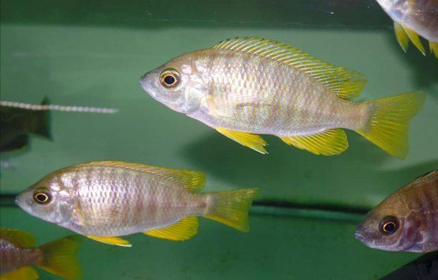 Copadichromis sp. 'flavimanus' (samice)