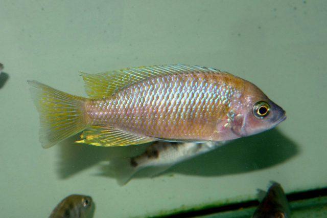 Copadichromis sp. 'flavimanus' (samec)