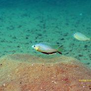 Nyassachromis microcephalus