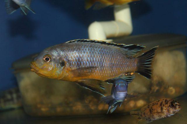 Petrotilapia genalutea Luwala Reef (samec)